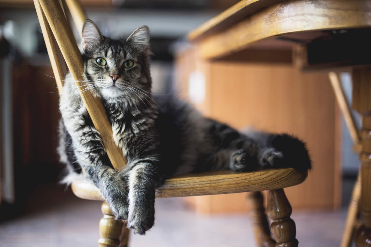 Katze Meckern